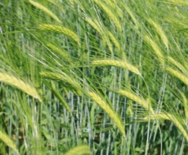 Chinese Government visit to UK farms could increase British barley demand in China